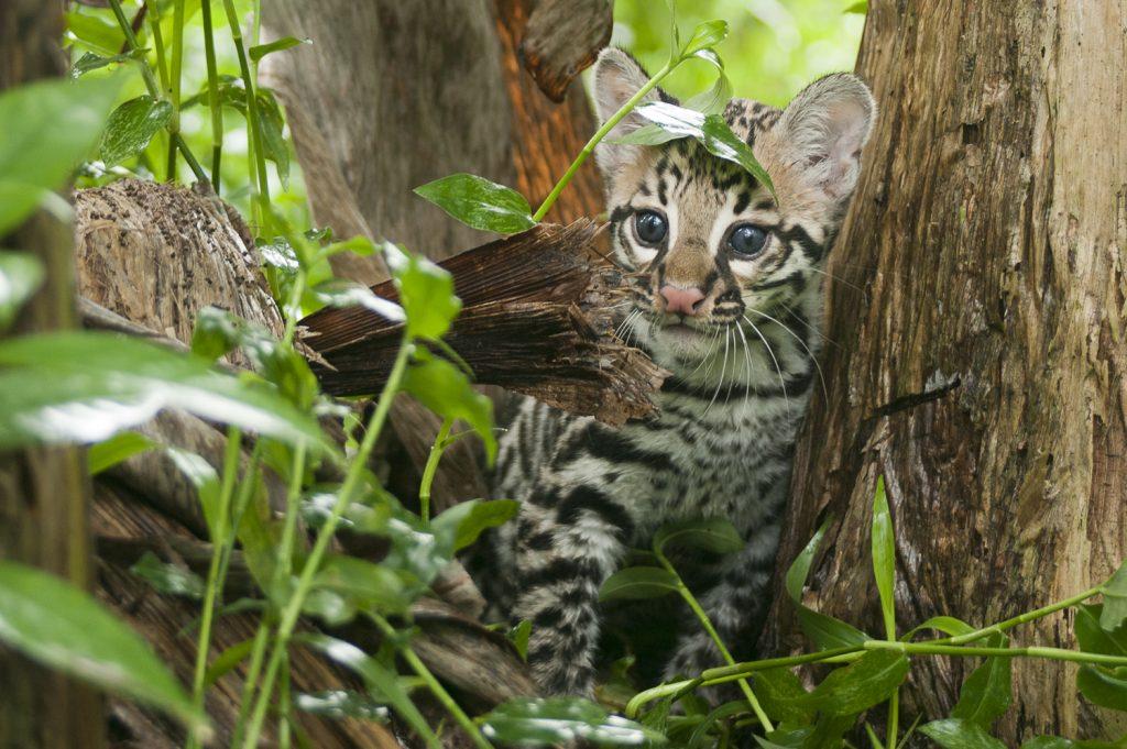 photo of a cute wild animal at Finca Luna Nueva Lodge